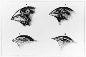 darwins-finches