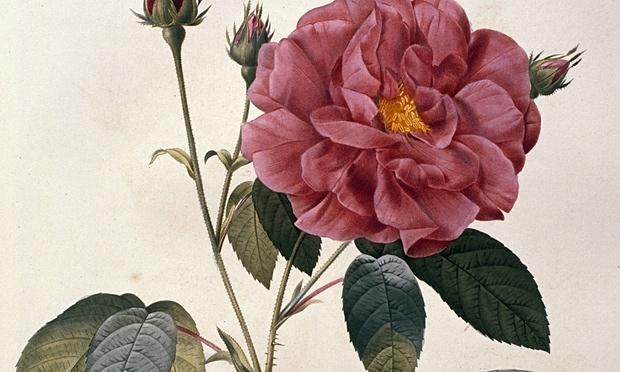 Rose-009